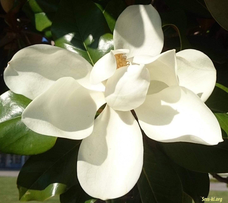 Обої - Магнолія квітка біла