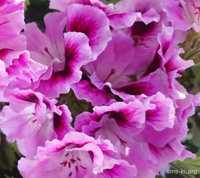 Обої - Ніжні фіолетові квіти королівської герані
