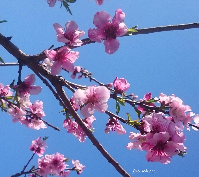 Обої - Квітучі дерева