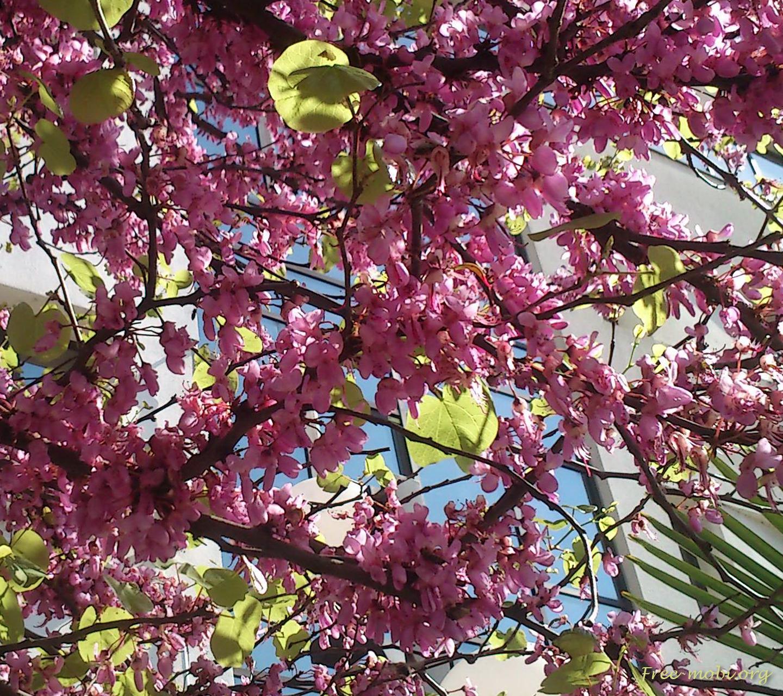 Обои - Цветущие весенние ветки дерева
