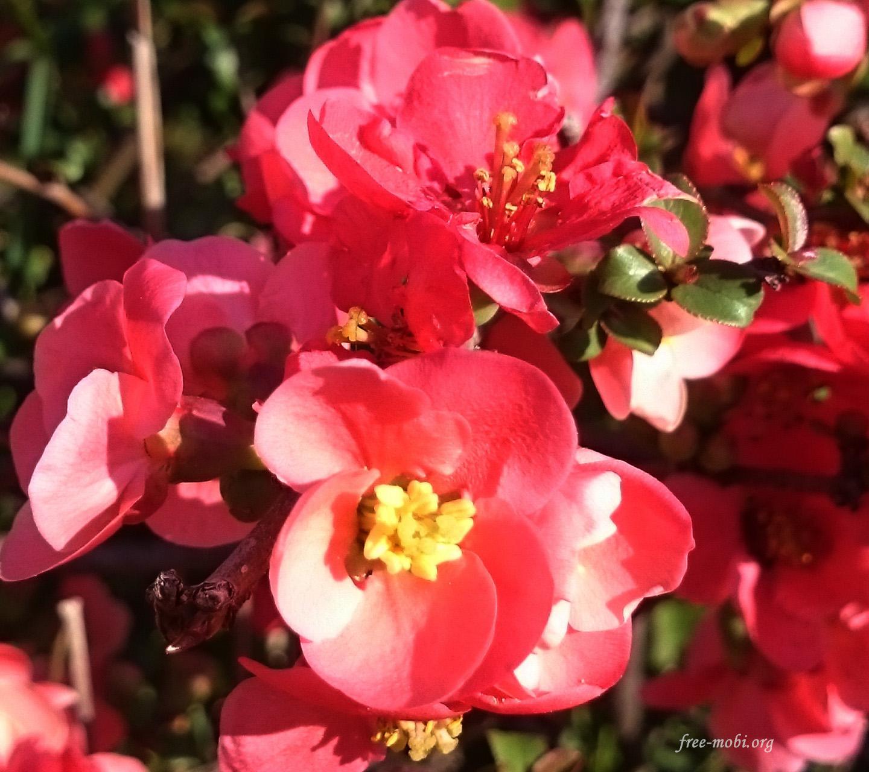 Обои - Красные весенние цветы