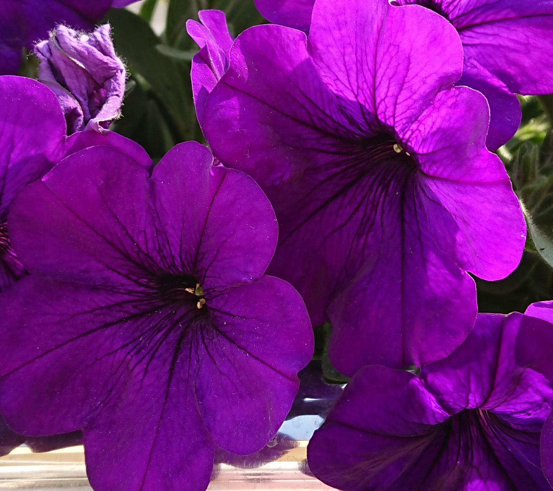 Обои - Фиолетовая красавица