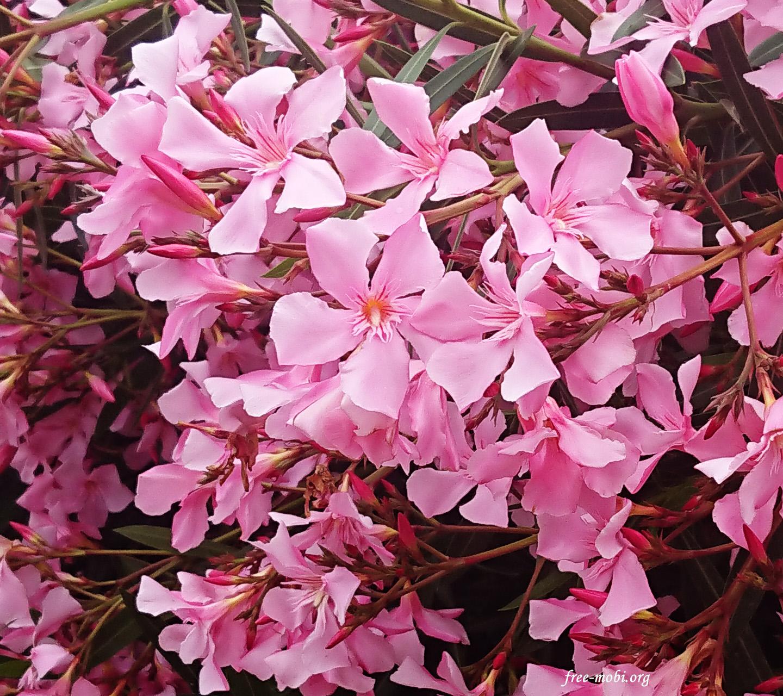 Обои - Весеннее розовое дерево