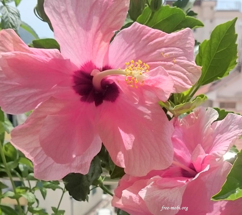 Обои - Китайская роза