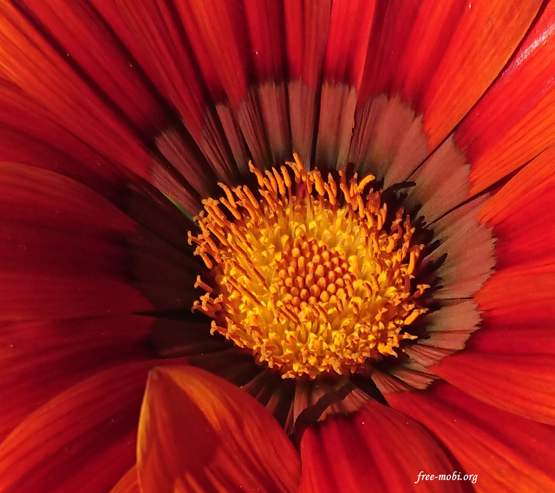 Обои - Большой оранжевый цветок