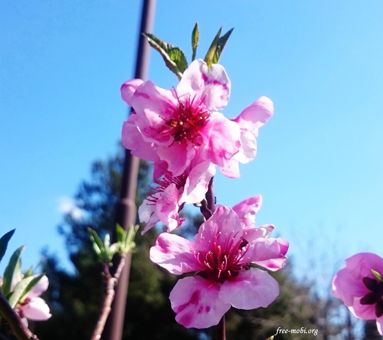 Обои - Розовые цветочки на дереве