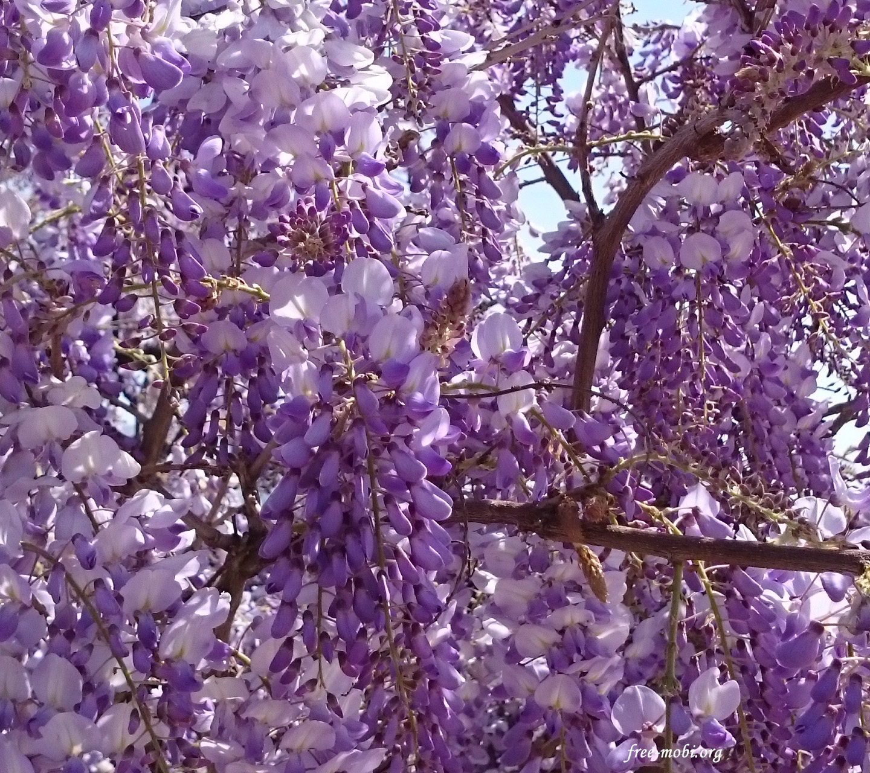 Обои - Фиолетовые весенние цветы