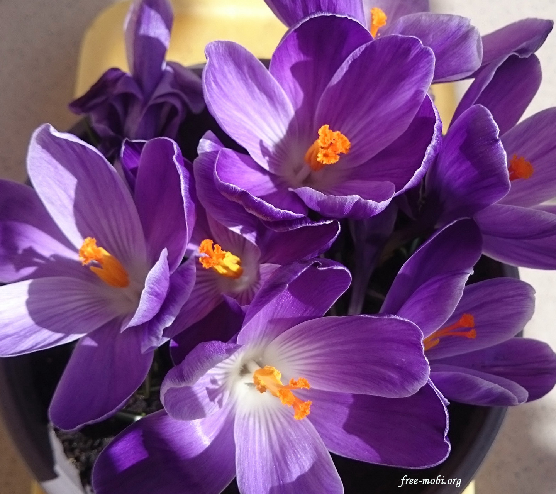Обои - Фиолетовые крокусы