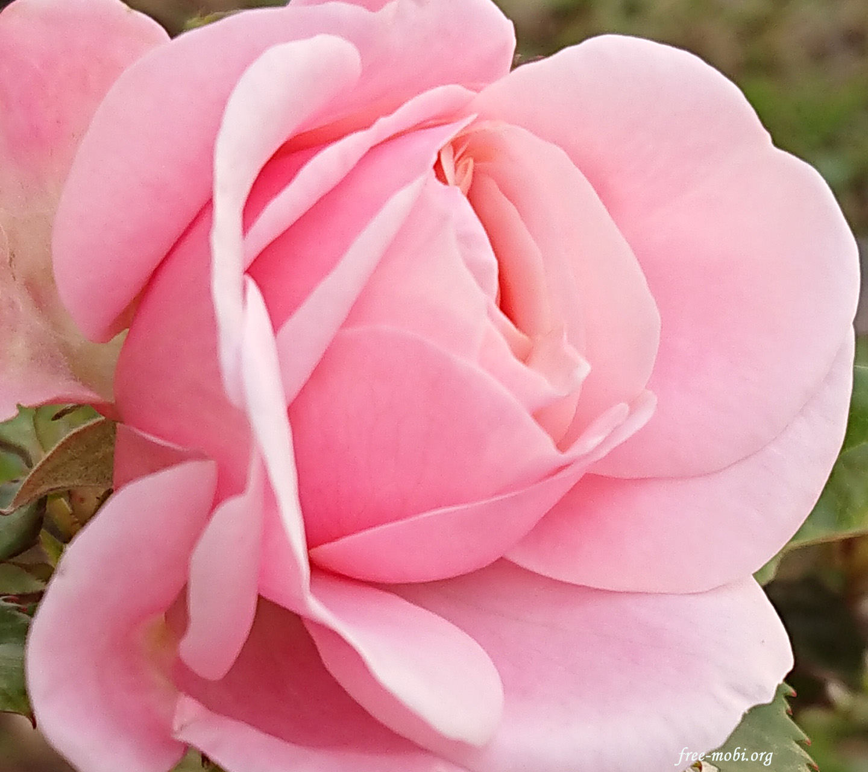 Обої - Ніжна троянда