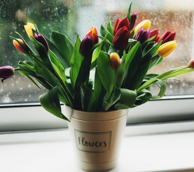 Обои - Two color tulips
