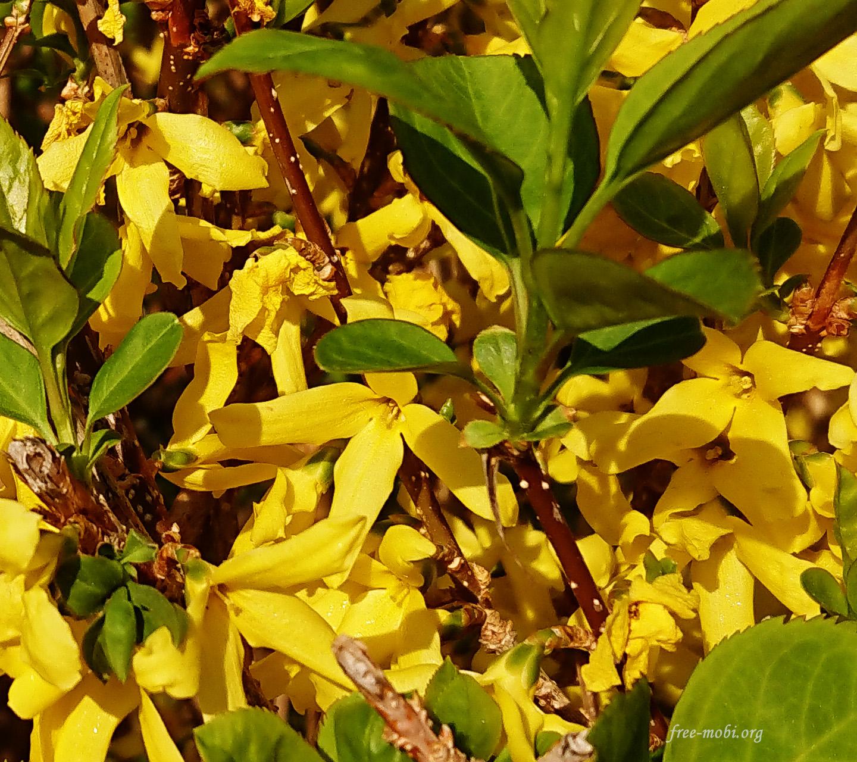 Обои - Желтые цветущие кусты