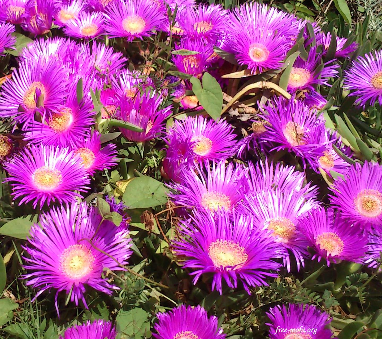 Обои - Розовые полевые цветы