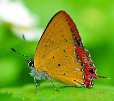 Желтая бабочка mini