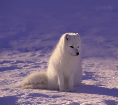 Белая лиса mini