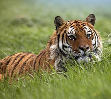 Тигр в траве mini