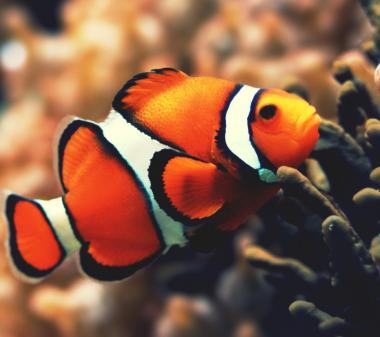 Оранжевая рыбка клоун mini