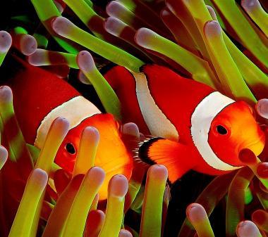 Рибки клоуны mini