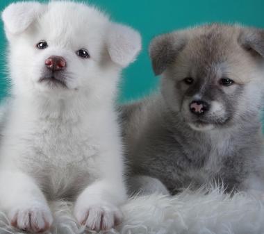 2 щеночка mini