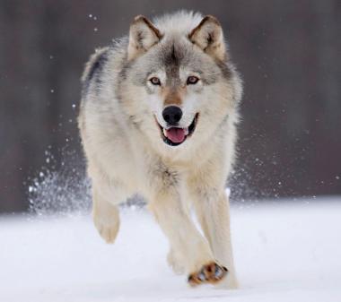 Волк в снегу mini